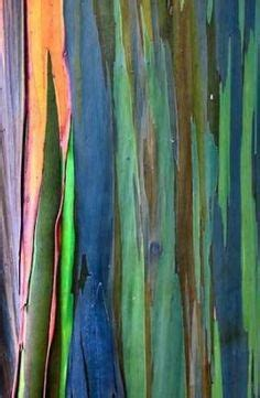 1000 ideas about rainbow eucalyptus tree on pinterest