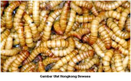Bibit Ulat Hongkong hulobatu nias belajar budidaya ulat hongkong mealworm