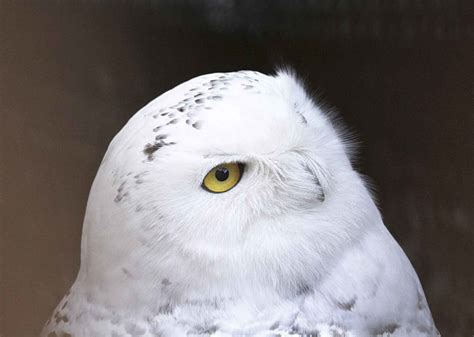 Snowy Owl Papercraft Museum - snowy owl s story to be told at marietta museum news