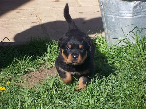 german import rottweilers rottweiler puppies for sale in edmonton alberta edmonton breeds picture