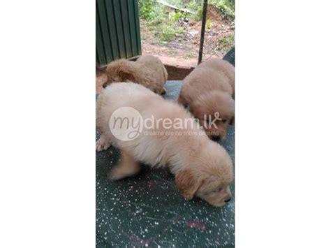 golden retriever for sale in sri lanka golden retriever puppy animals gaha mydream lk