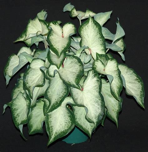1000 images about caladium on pinterest plants summer