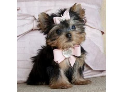 yorkie puppies houston excellent yorkie puppies for sale animals houston announcement 35485