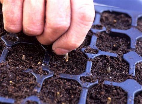 Biji Bunga Dahlia cara menanam bunga dahlia dari biji bibitbunga