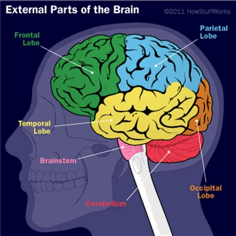 Parts of the human brain parts of the human brain pictures to pin on