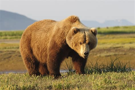 imagenes de osos fuertes hunt for b c grizzly that attacked 2 men called off