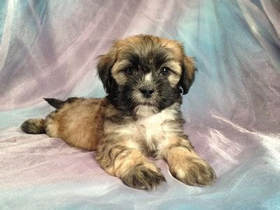 shih tzu puppies iowa shih tzu breeders in iowa freedoglistings breeds picture
