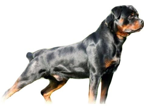 rottweiler breeders in michigan rottweiler puppies rottweiler puppies michigan german rottweiler puppies for sale in