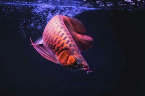Pompa Celup Aquarium Yang Bagus arwana antik ferboes