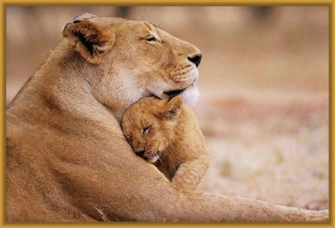 imagenes leones tiernas imagenes de leonas tiernas y reinas imagenes de leones