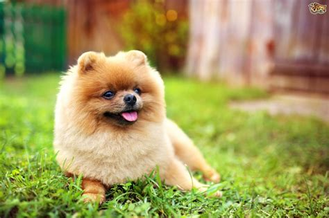 why are pomeranians so health concerns in pomeranians pets4homes