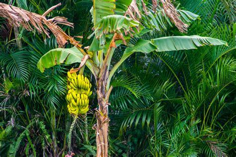 Bananas On Tree by Woher Kommen Bananen 187 Alles 252 Ber Die Herkunft