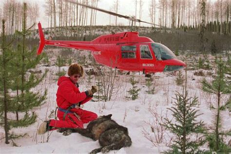 Alaska Background Check The Wolf Has Become Our Scapegoat In The Battle For The West The Globe And Mail