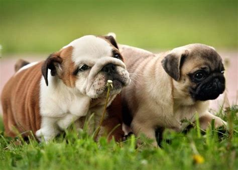 pug and bulldog pug bulldog best friend dogs pug puppies pugs and bulldogs
