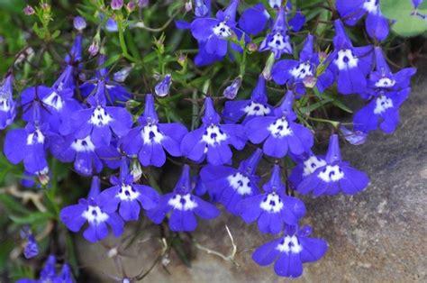 fiori azzurri nomi lobelia lobelia erinus lobelia erinus piante annuali