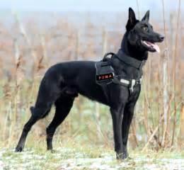 belgian shepherd long haired black belgian malinois images amp pictures becuo