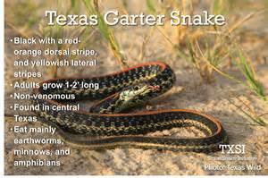 Garden Snake Facts Txsi