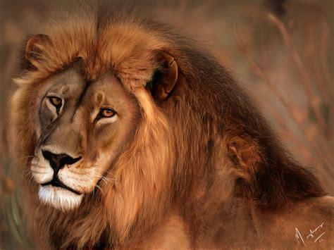 imagenes de leones national geographic le s 233 n 233 gal revisit 233 moi caramel mou