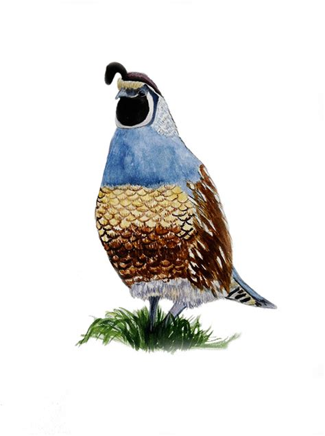 paint color quail the gallery for gt quail drawing