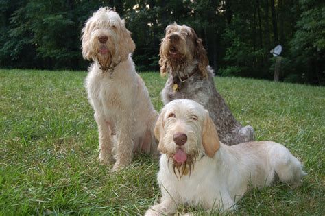 spinone italiano puppy italian spinone breeders