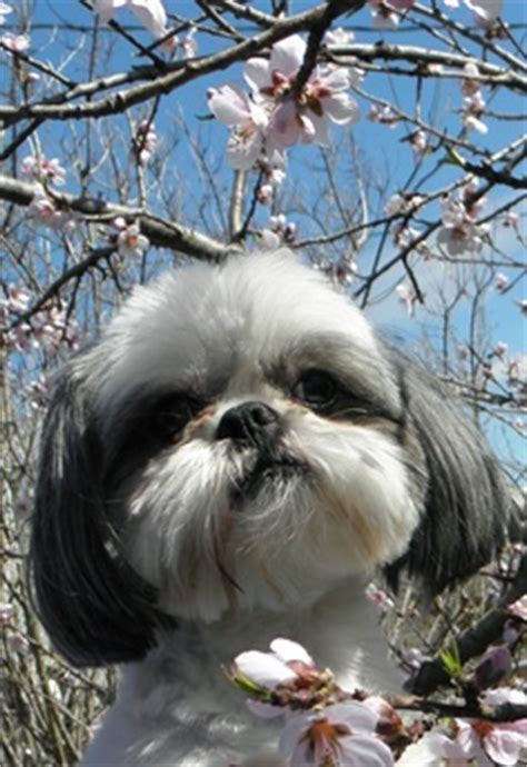 shih tzu common health problems what breeds are prone to hip dysplasia breeds picture