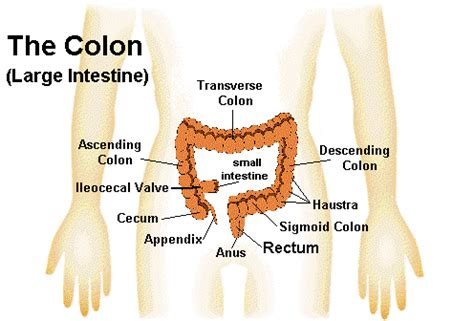 Detox Transverse Colon by Lesson 7 The Intestinal System