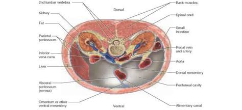 transverse section of the abdomen image gallery peritoneal cavity
