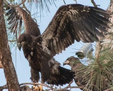 southwest florida eagle cam pin by g i n n i e on southwest florida eagle cam