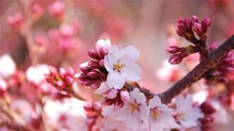 blossom cherry picture cherry blossom desktop wallpapers wallpaper cave