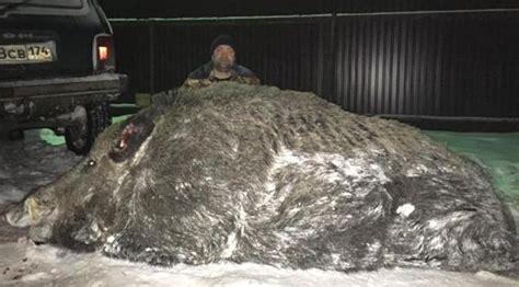 babi terbesar di dunia berburu pria ini taklukkan babi raksasa di hutan shokurov
