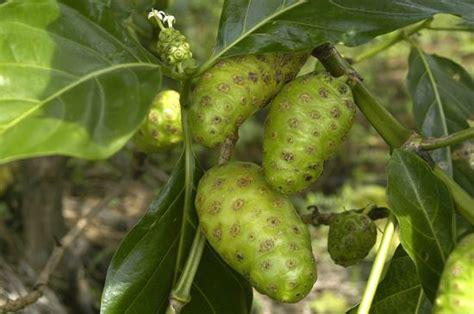 Tanaman Buah Mengkudu manfaat daun dan buah mengkudu untuk kesehatan