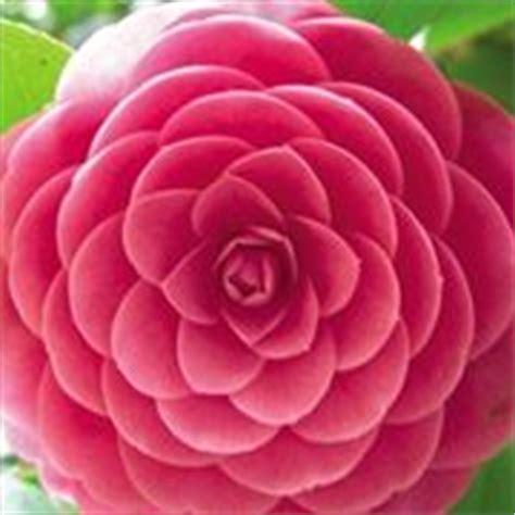 fiori invernali da giardino ginepro piante da giardino la pianta di ginepro