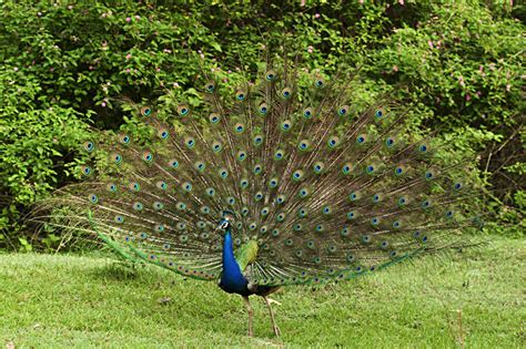 Peacock L by Paragraph On Peacock Bird Essay On National Bird