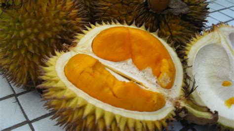 Harga Bibit Durian Udang Merah the gallery for gt buah durian