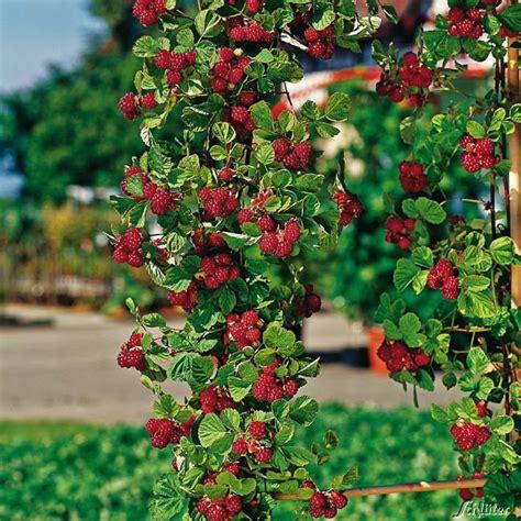 himbeeren pflanzen balkon s 228 ulen himbeere autumn rubus idaeus himbeeren