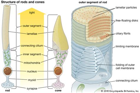 rods in the retina are the receptors for color photoreception structure and function of photoreceptors