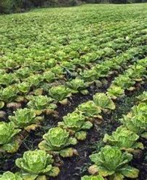 chinese cabbage resources published  olericultureorg