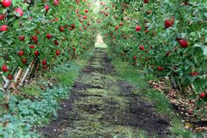 fruit trees for sale washington state looking the rows of apple trees wa images