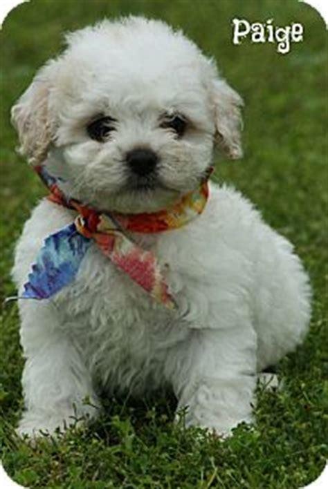 shih tzu rescue ct adopted puppy glastonbury ct poodle or tea cup shih tzu mix