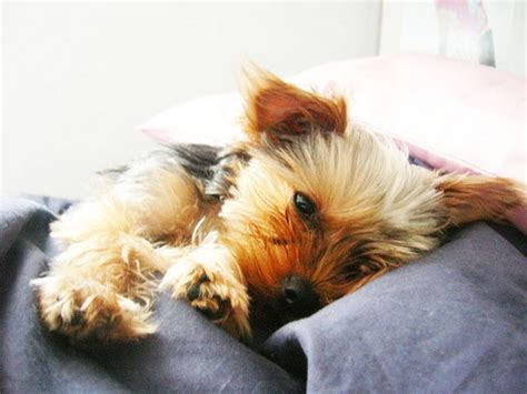 pictures of big yorkies big terrier pup jpg