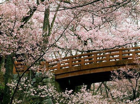 fiore di ciliegio significato fiore di ciliegio significato fiori