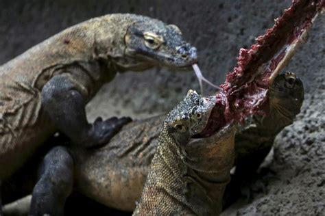 komodo dragon bites tourist   attack  humans