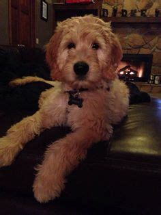 goldendoodle puppy coat types 1000 images about golden doodles on
