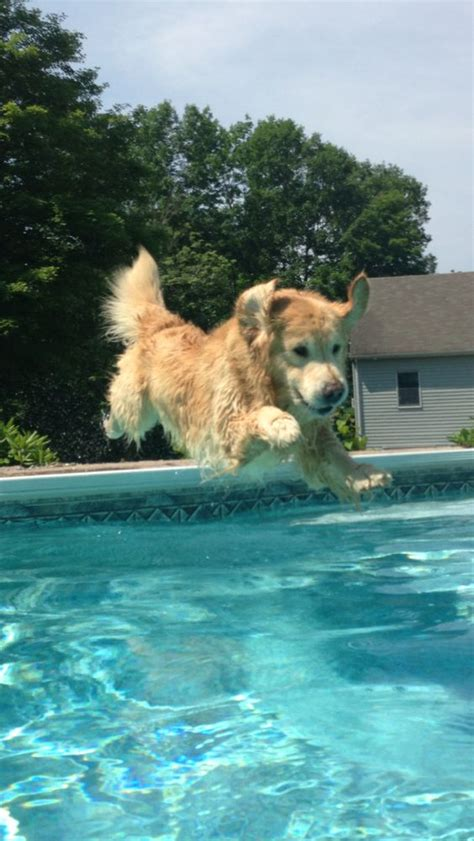 golden retriever in water 14 things that make golden retrievers happy