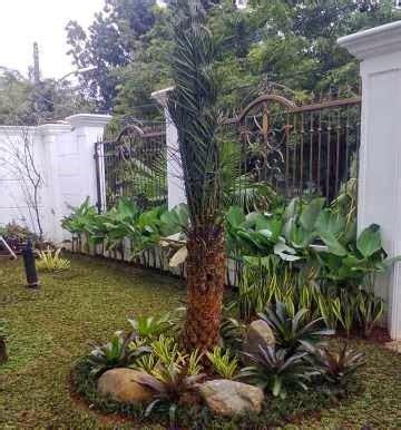 Pohon Bambu Dracena Golden Pohon Dracena Pohon Brasena Golden pasang taman murah tukang rumput taman jasa tukang taman tukang taman
