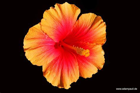 hibiskus zimmerpflanze kaufen hibiskus foto bild natur makros natur kreativ