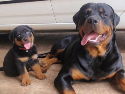 tough boy names for rottweilers my lilly and my big boy rocky a of rottweilers