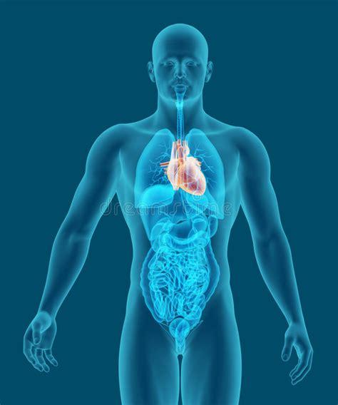 organi interni uomo uomo con un illustrazione degli organi interni e cuore