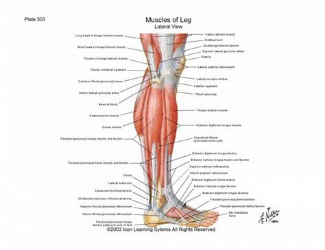 diagram of muscles and tendons diagram of knee muscles and tendons anatomy organ