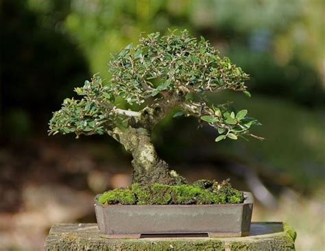 bonsai con fiori bonsai gelsomino bonsai il jasminum